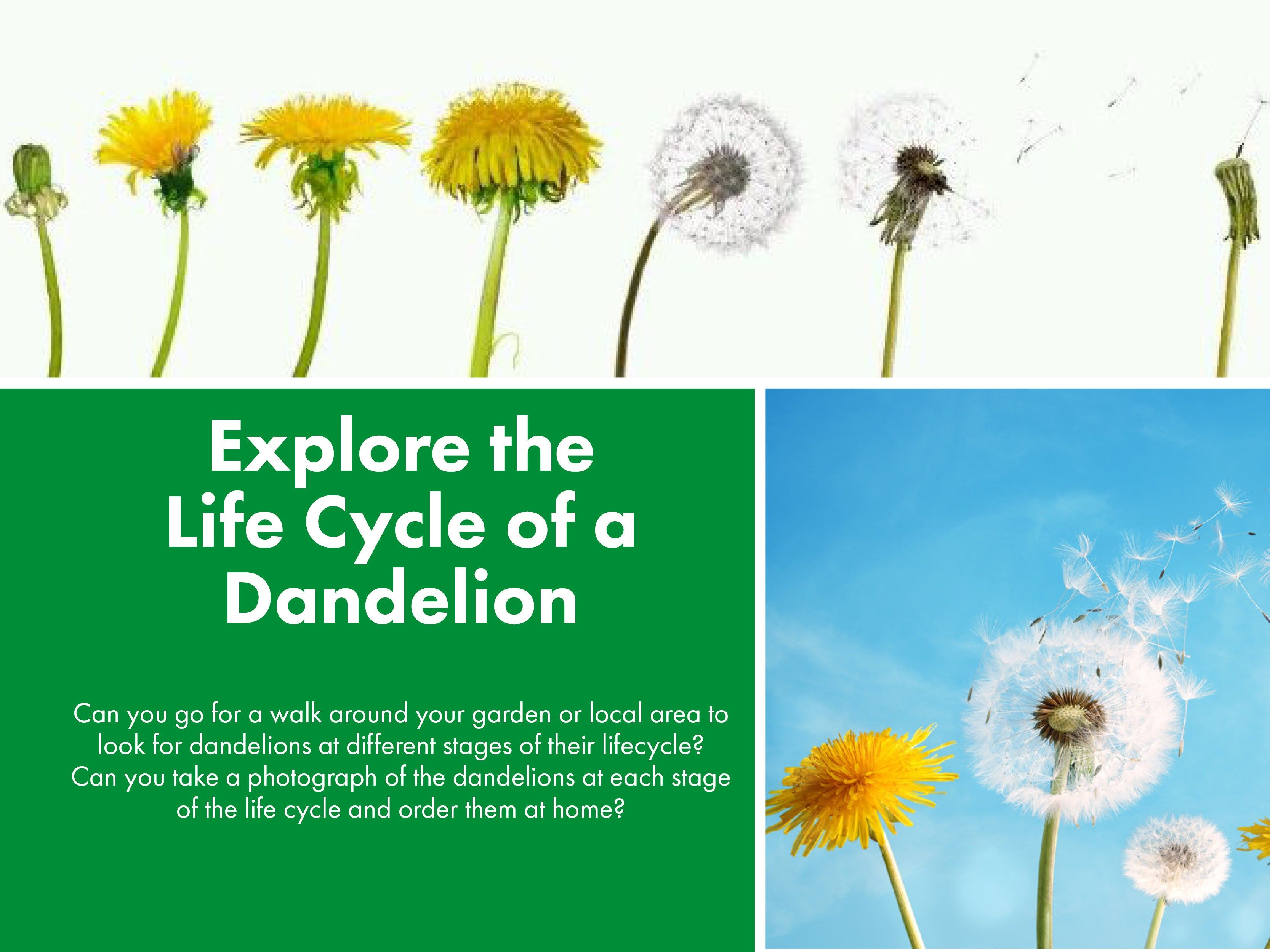 Explore the  Life Cycle of a Dandelion